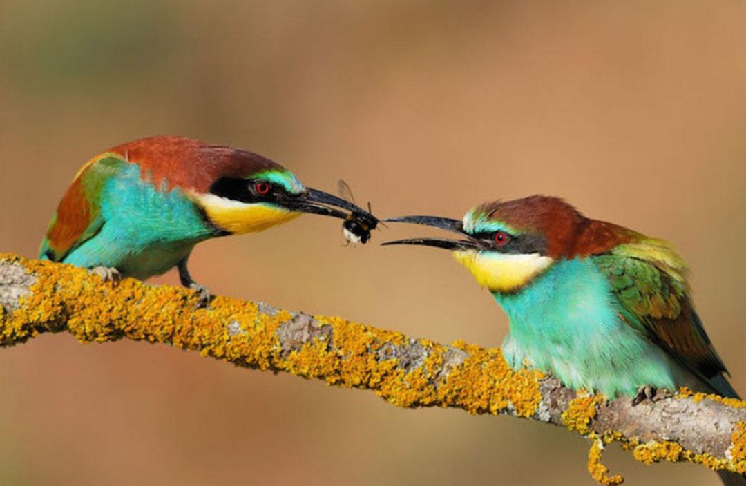 Photo de deux oiseaux colorés sur une branche qui se transmettent un insecte de bec à bec