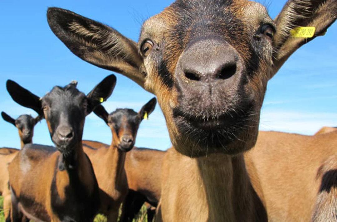 Portrait photo d'une chèvre en gros plan, entourée d'autres congénères en plein air - référence